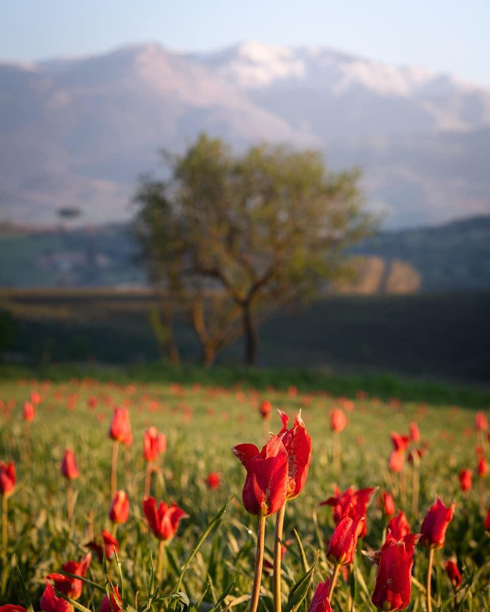 Тюльпаны на Сицилии