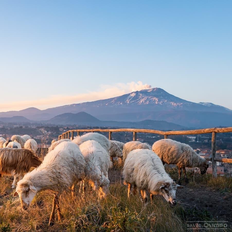 Этна и овцы